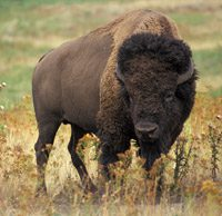 American bison by the numbers